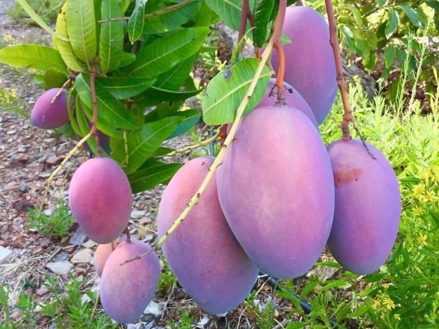 Purple mangoes hanging on the tree in Spain at Ramon's farm. Probably the best fruit in Europe?